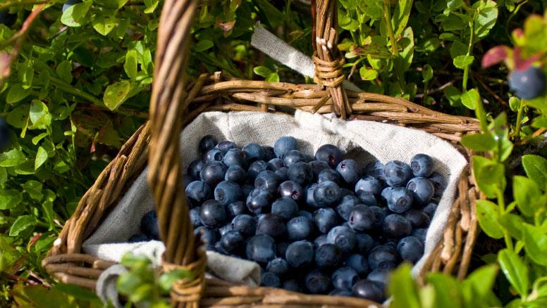 蓝莓采收注意事项