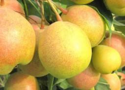 甘肃张掖民乐苹果梨1500平米水果保鲜冷库设计建造方案