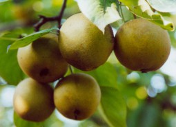 甘肃兰州冬果梨900平米水果保鲜冷库设计建造方案