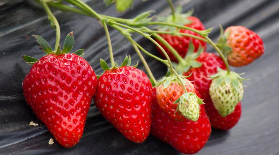 草莓入冷库前的管理工作